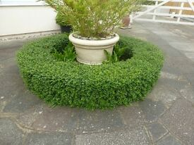 HEGDING / TOPIARY SHRUBS ( Fast Growing) ONLY £5 EACH