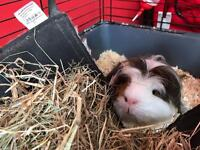 Male guinea pig for sale
