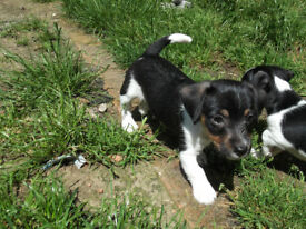 stunning jack russell pups
