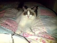 ** Ragdoll Stunning bi-coloured 28 months old ** /female/spayed/Vaccinated/microchipped