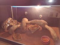 Female Bearded Dragon & Vivarium & Accessories