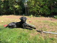 7months old black labrador
