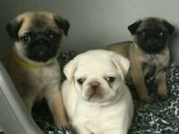 Beautiful Chunky Pug Puppies READY NOW!!!