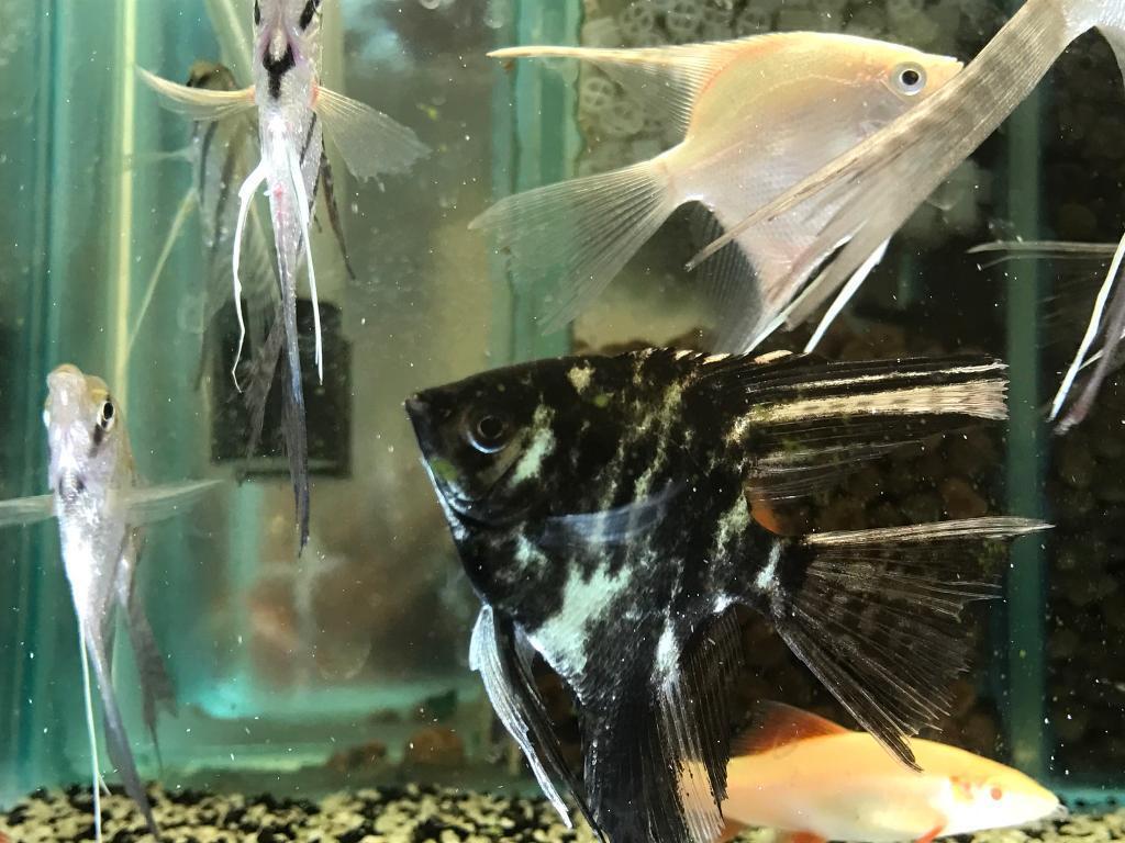 Angel fish peaceful tropical Community fish