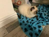 Male Chocolate ragdoll kitten ready now