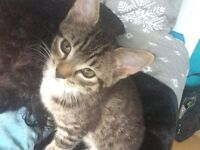 Beautiful Tabby Patterned Half Maine Coon 16 Week Old Female Kitten