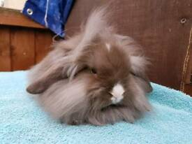 mini lion lop ready now