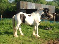 Piebald Pony