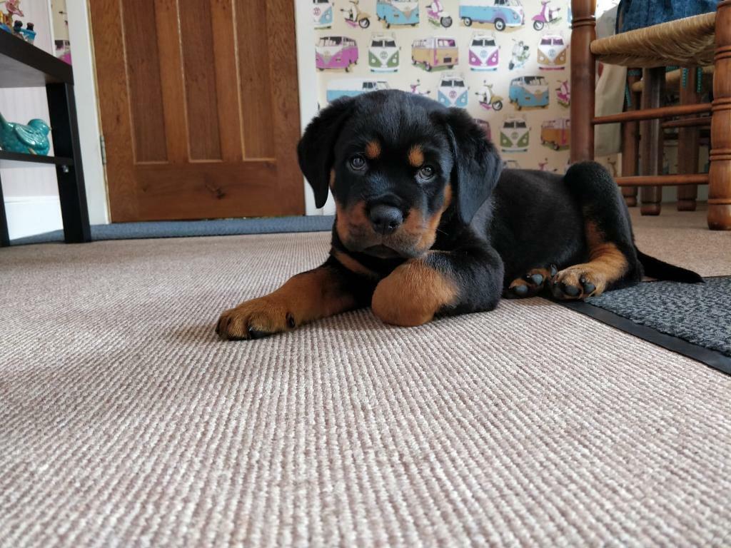 Rottweiler puppies for sale   In Ireland