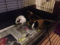 3 BABY GUINEA PIGS FOR SALE IN LONDON