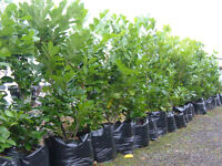 LAUREL 5-6FT TALL 60LT POT,£85. INSTANT HEDGING GREAT VALUE PLANT NOW FOR AN INSTANT 2017 HEDGE