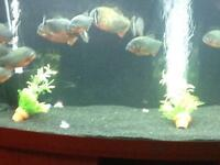12 large red belly piranhas