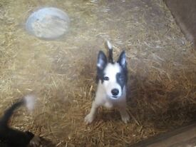 2 Collie pups for sale