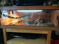 Red leatherback Bearded Dragon Vivariam and full set up.