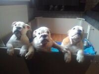 16 weeks old bulldog puppies kc reg and had all injections and go out on walks
