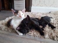 4 Kittens for Sale, 3 blacks boy kittens and 1 female mixed colour kitten
