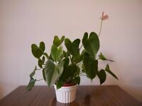 Anthurium house plant, pink flowers