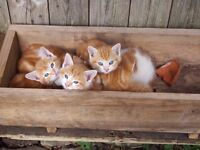 Male and female ginger kittens