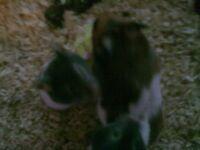 last two baby hamsters £5.00 each