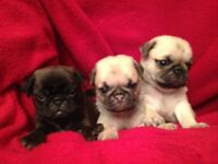 Champion Bloodline pug puppies for sale. Just 3 remaining.