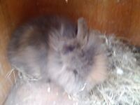 Lionhead female rabbit