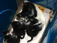 5 Adorable Kittens for sale. Ready to leave on 23rd of December