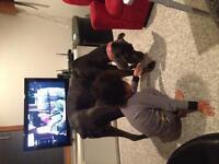 4 year old small Italian mastiff girl