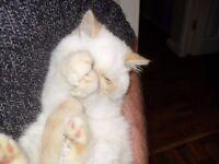 colourpoint exotic kitten (short hair persian)