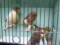 gloster canarys