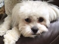 Gorgeous Shichon Puppies Shih Tzu x Bichon Frise (Teddy Bear dogs)