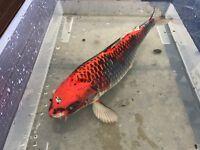 2x Large Koi Fish - Price for both.