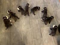 Puppies for sale (American Bulldog x Cane Corso)