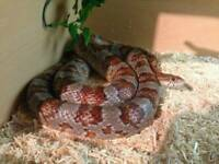 1x corn snake and 3x leopard gekos