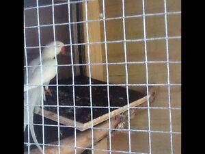 White Ringneck Hens Jandakot Cockburn Area Preview