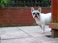 French Bulldog Girl - spayed