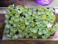 TRAY OF 24, YES 24, GERANIUMS FOR SALE