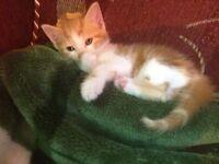 Beautiful playful kitten for sale