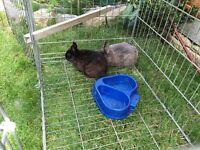 Two Netherland dwarf female rabbits