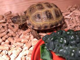 Baby tortoise with home, light etc