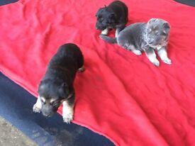 Lovely German Shepard puppy's