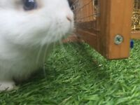 2 cute baby rabbits for sale. Ready to go from Friday 20th July