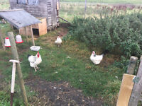 5 hens and Cockreel feeders and fencing for sale
