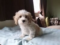 Gentle, playful and affectionate male cavachon puppy easily trainable ..for sale