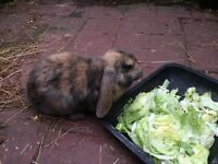 Giant French lop rabbit