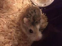 Female Dwarf Hamster and Accessories