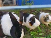 Rabbit and Guinea Pigs FREE to loving home