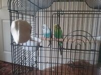 Budgies and cage for sale £40