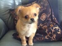 A very loving little chihuahua just 4 months REDUCED to £450