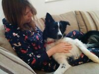 3 year old Boarder Collie in need of new home
