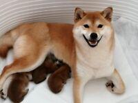 Japanese Shiba Inu puppies